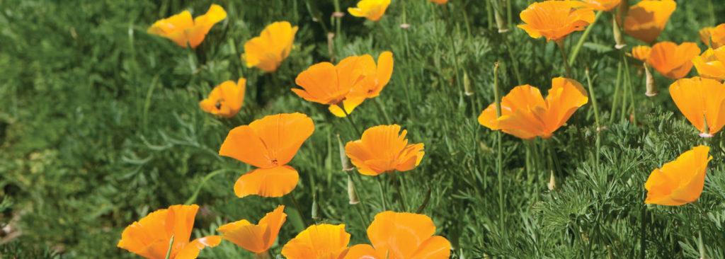 California Poppy Flowers - Header